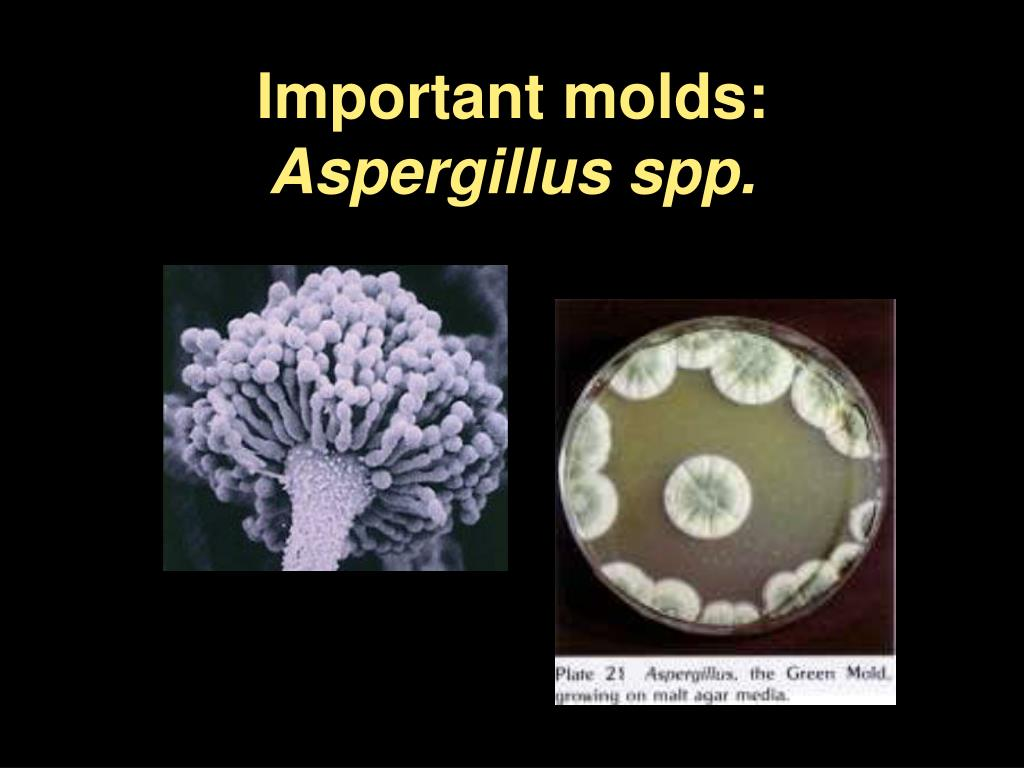 Is aspergillus single or multicellular