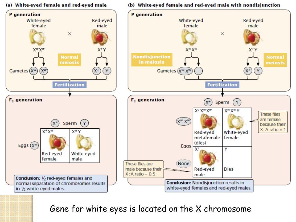 chromosomal sex determination ppt file in Detroit