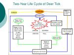 two year life cycle of deer tick