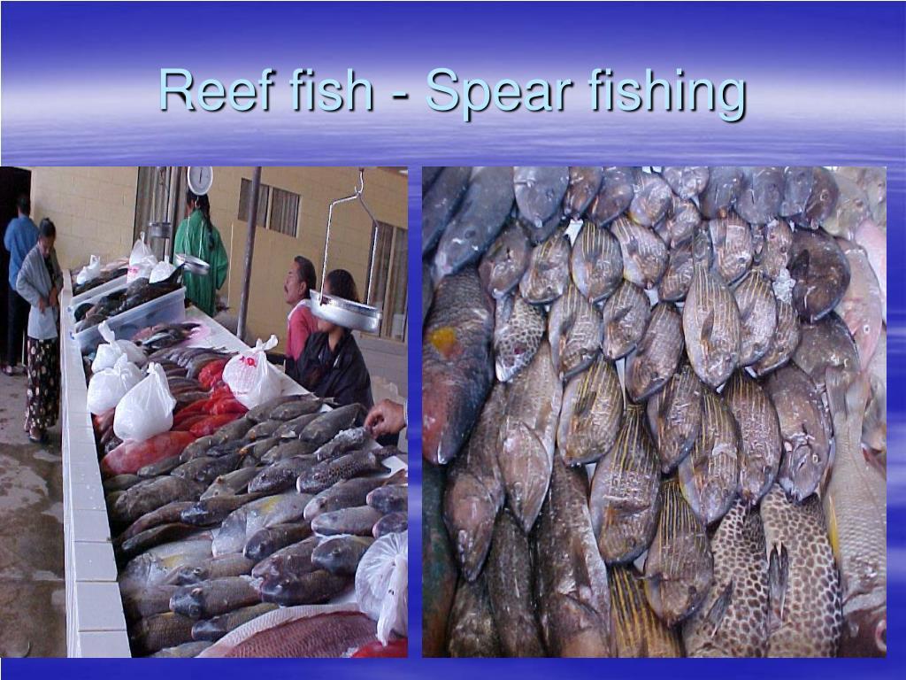 Reef fish - Spear fishing