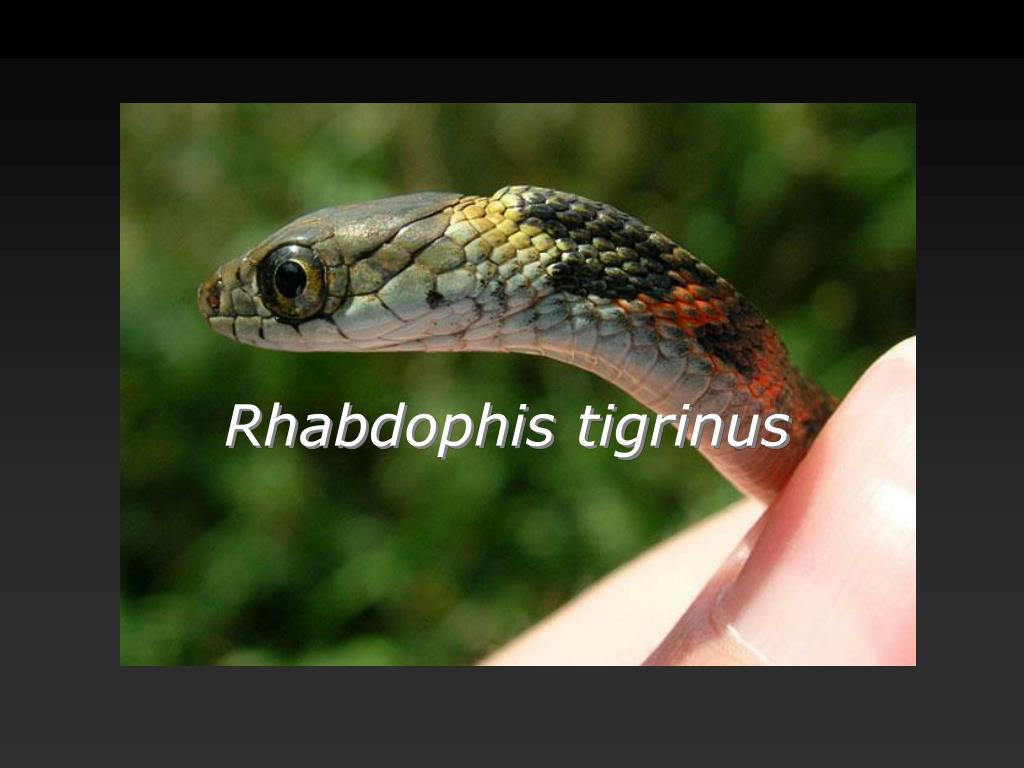 Rhabdophis tigrinus