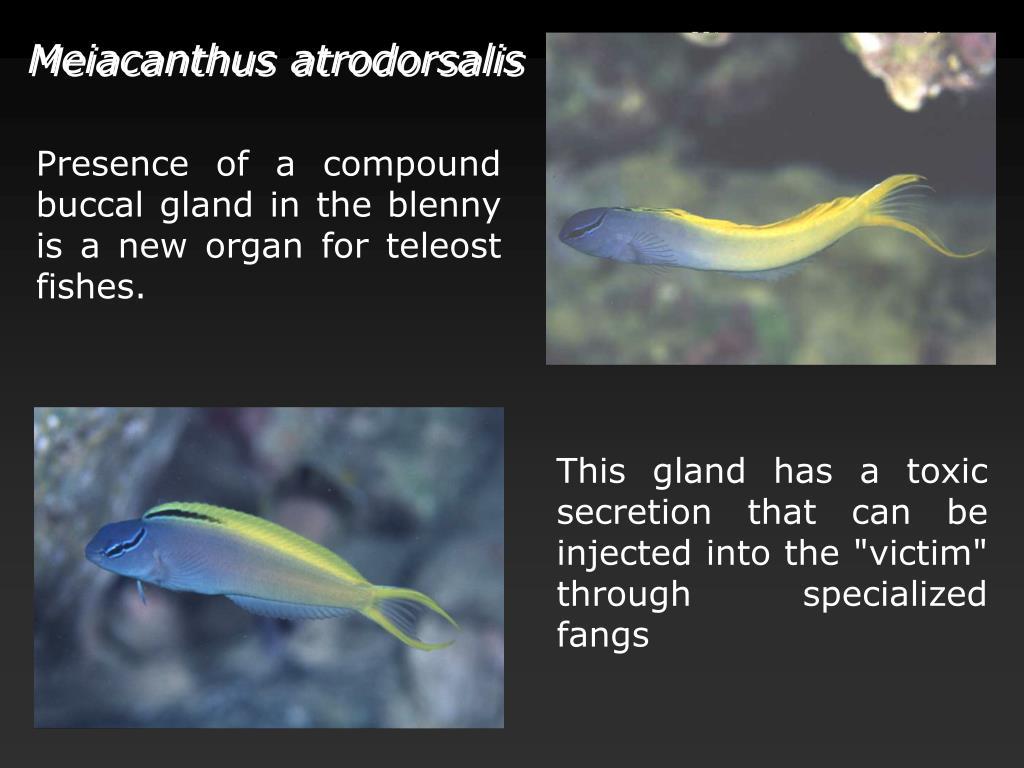 Meiacanthus atrodorsalis