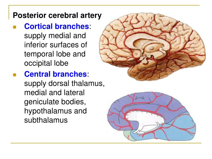 Ppt The Meninges And Blood Vessels Of Brain And Spinal Cord And