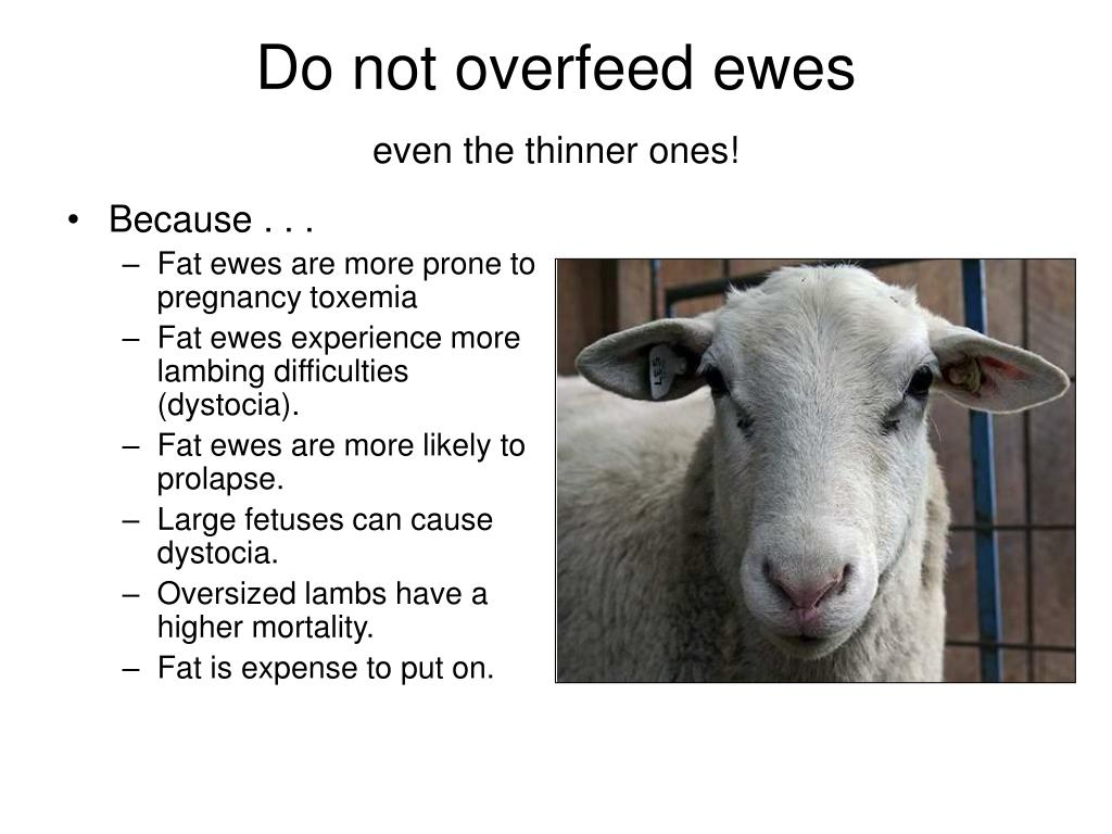 Do not overfeed ewes