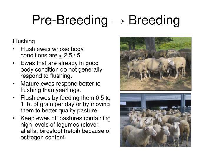 Pre breeding breeding3