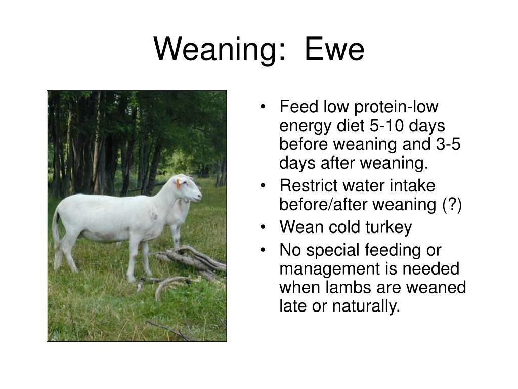 Weaning:  Ewe