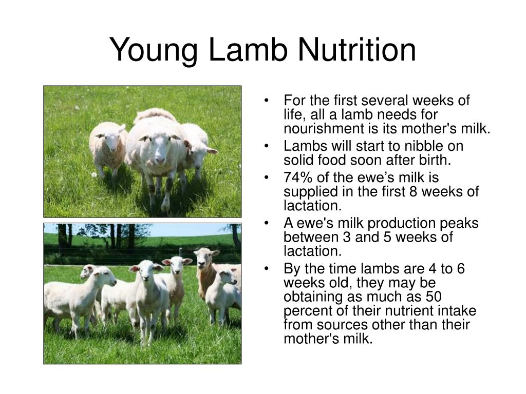 Young Lamb Nutrition