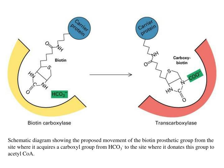 Schematic diagram showing the proposed movement of the biotin prosthetic group from the site where it acquires a carboxyl group from HCO