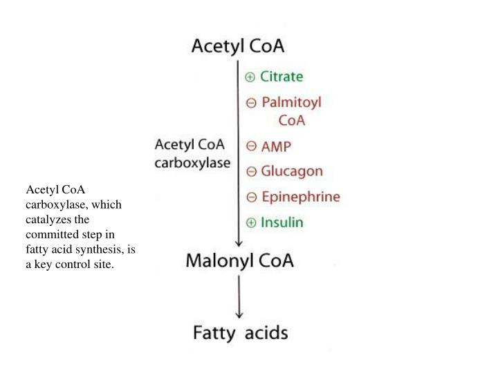 Acetyl CoA carboxylase, which catalyzes the committed step in fatty acid synthesis, is a key control site.