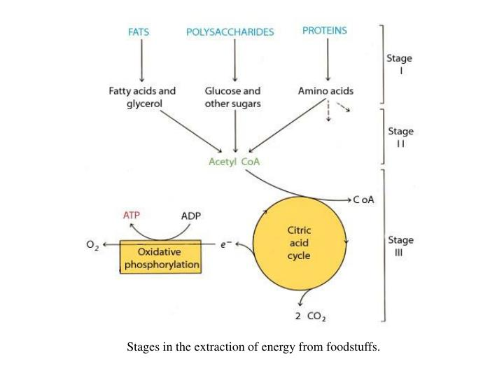 Stages in the extraction of energy from foodstuffs.