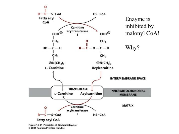 Enzyme is inhibited by malonyl CoA!