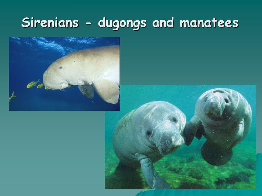Sirenians - dugongs and manatees