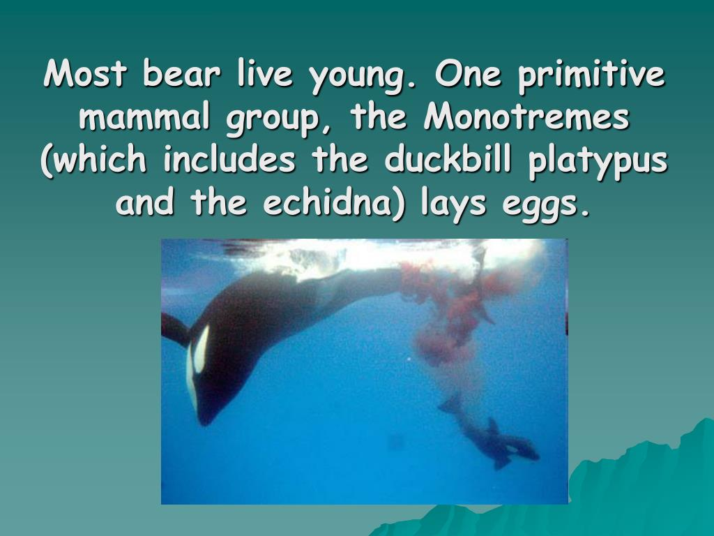 Most bear live young. One primitive mammal group, the Monotremes (which includes the duckbill platypus and the echidna) lays eggs.