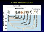primate evolutionary tree