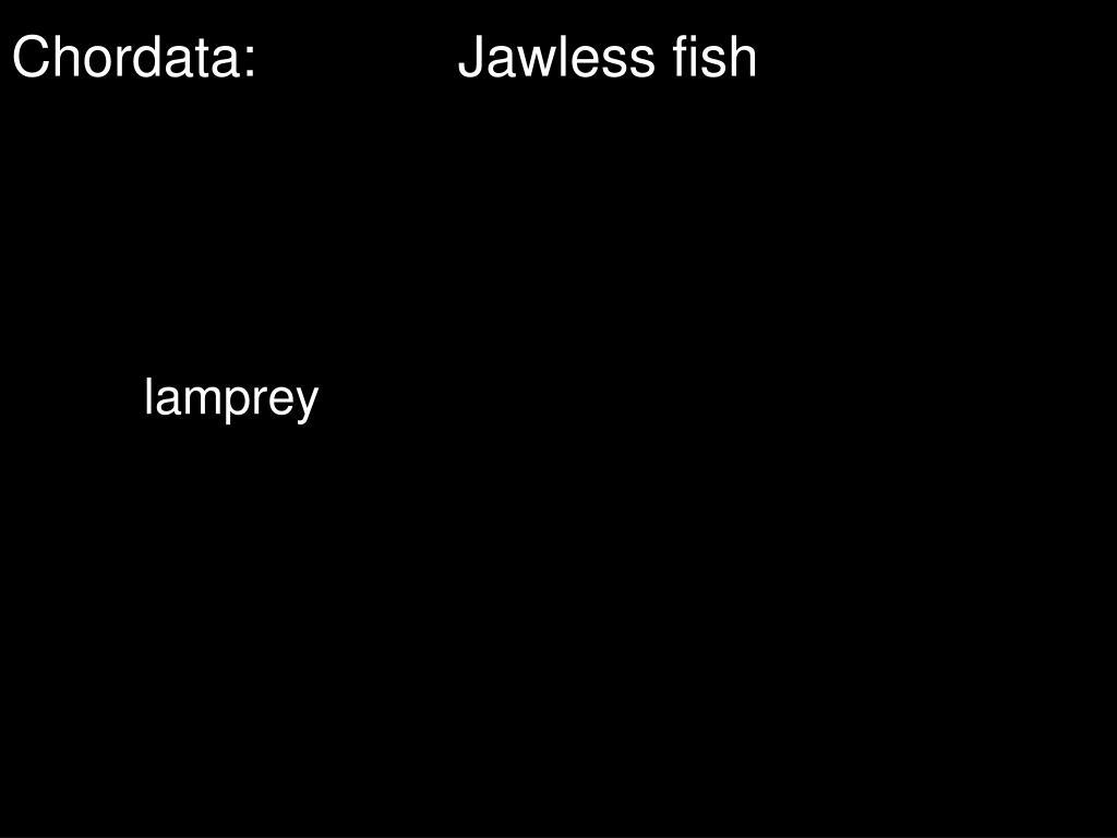 Chordata:Jawless fish