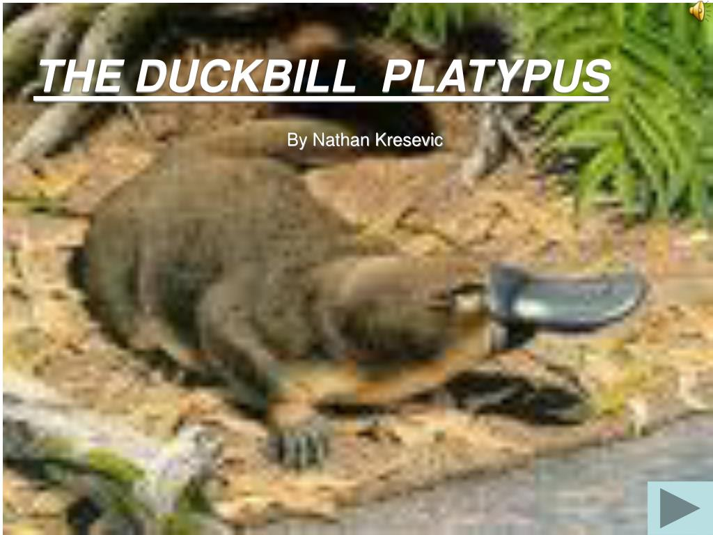 the duckbill platypus l.