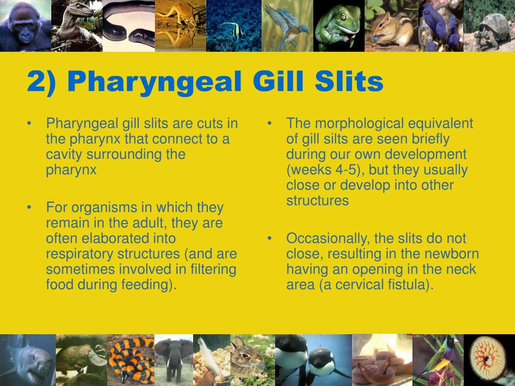 Pharyngeal gill slits are cuts in the pharynx that connect to a cavity surrounding the pharynx