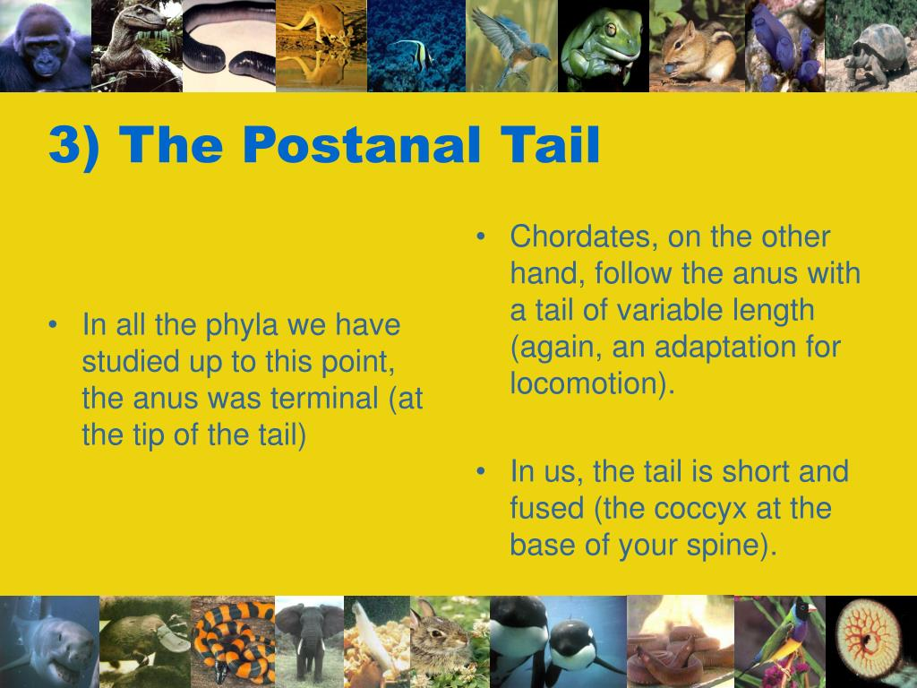 In all the phyla we have studied up to this point, the anus was terminal (at the tip of the tail)