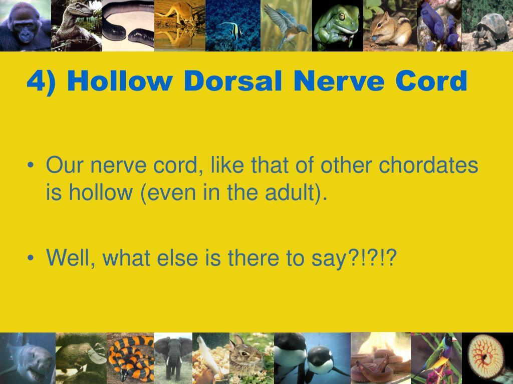 4) Hollow Dorsal Nerve Cord