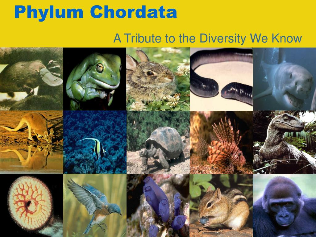 Phylum Chordata