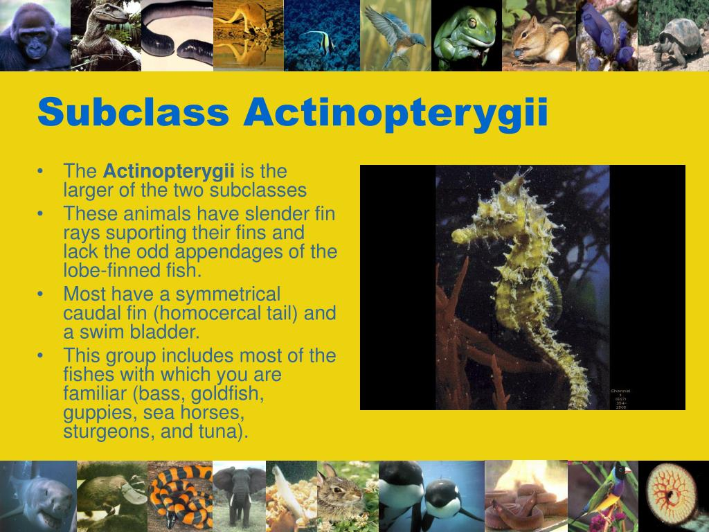 Subclass Actinopterygii