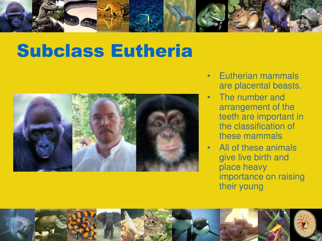 Subclass Eutheria