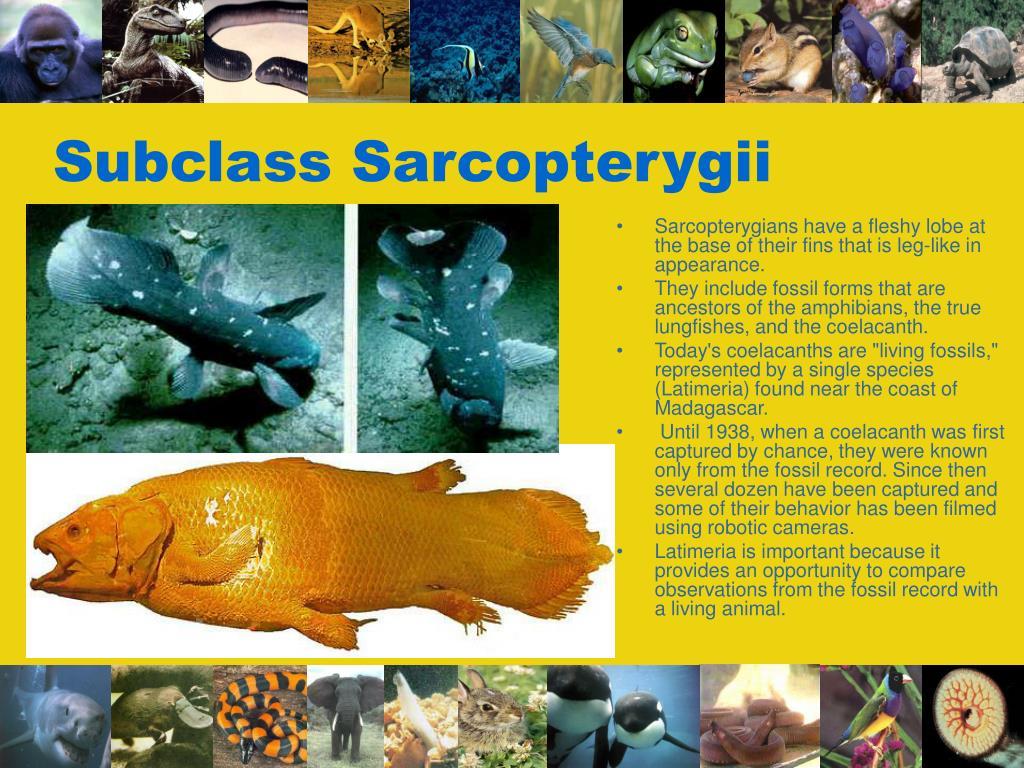 Subclass Sarcopterygii