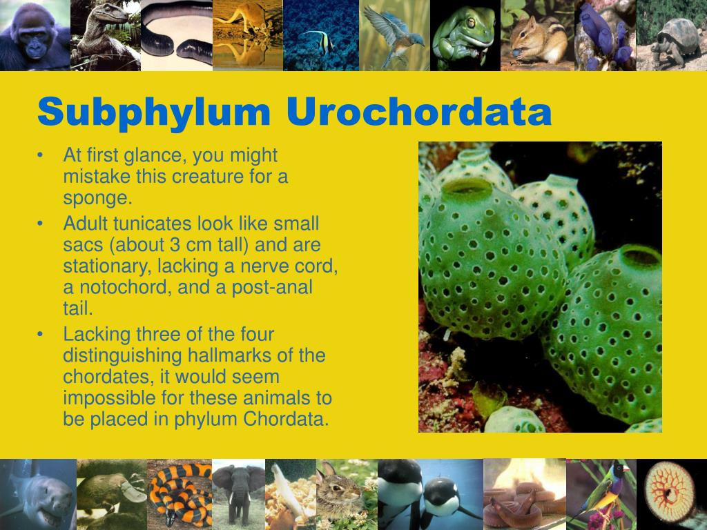Subphylum Urochordata