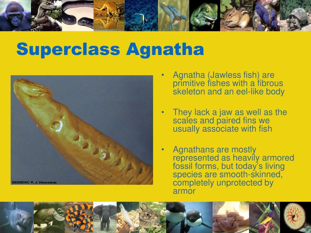 Superclass Agnatha