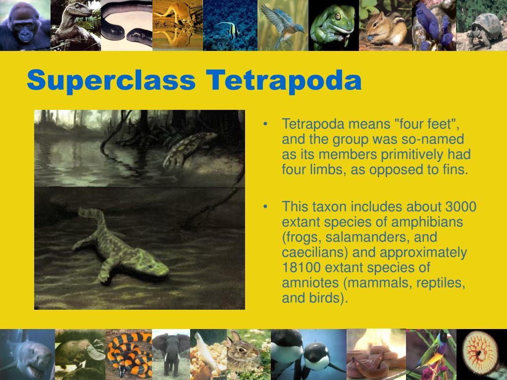 Superclass Tetrapoda