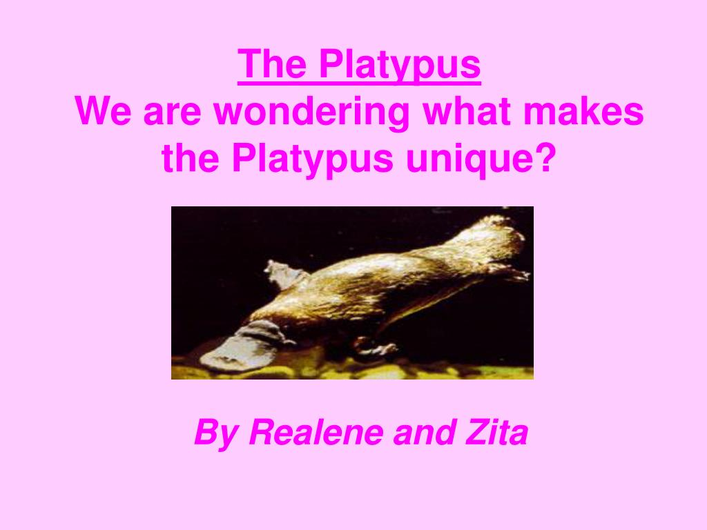 the platypus we are wondering what makes the platypus unique l.