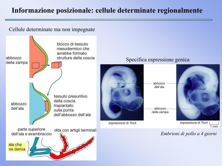 Informazione posizionale: cellule determinate regionalmente