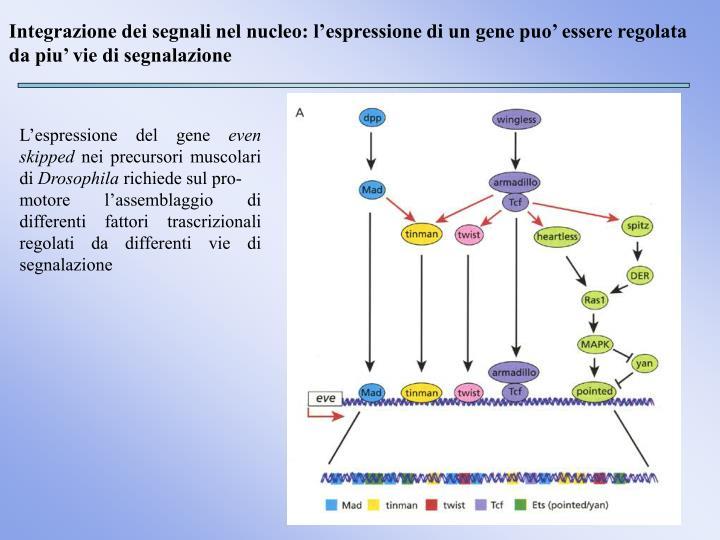 Integrazione dei segnali nel nucleo: l'espressione di un gene puo' essere regolata