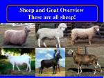 sheep and goat overview these are all sheep