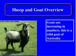 sheep and goat overview11