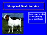sheep and goat overview13