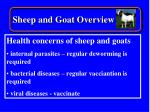 sheep and goat overview19