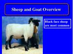 sheep and goat overview5