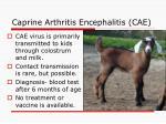 caprine arthritis encephalitis cae21