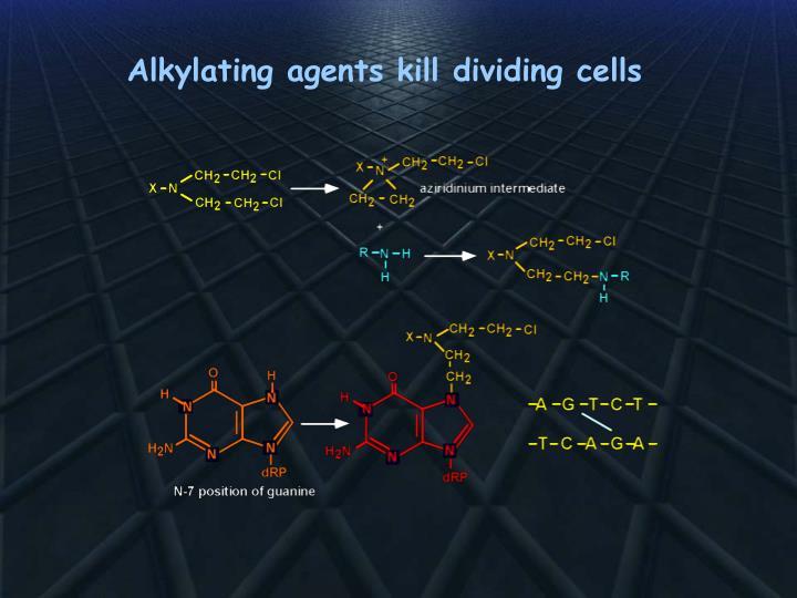 Alkylating agents kill dividing cells