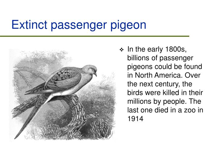 Extinct passenger pigeon