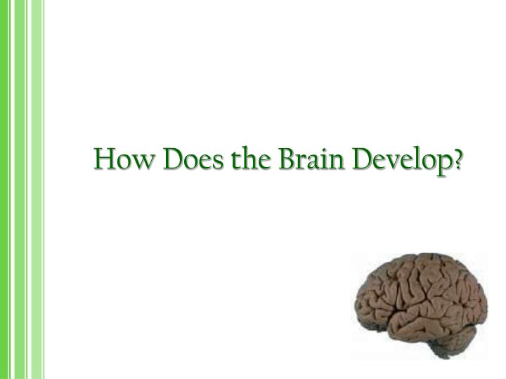 how does the brain develop