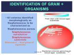 identification of gram organisms