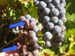 symptoms berries