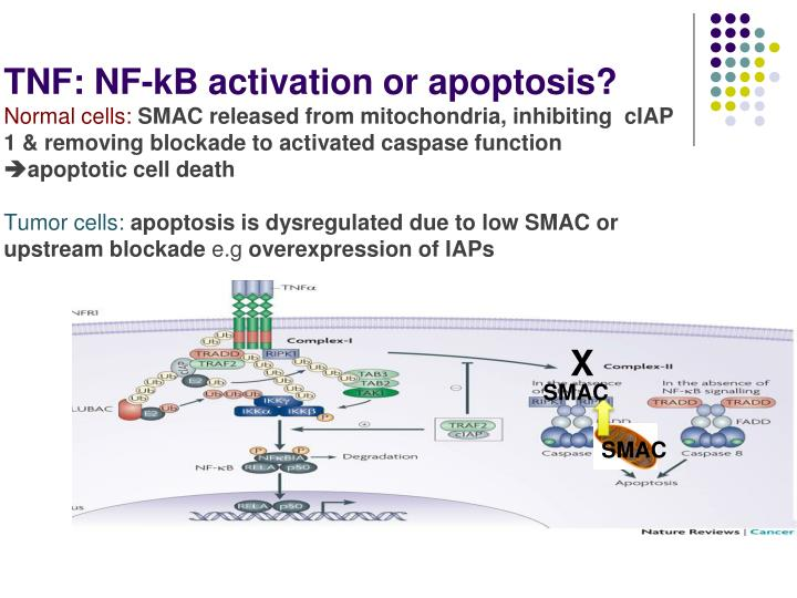 TNF: NF-kB activation or apoptosis?