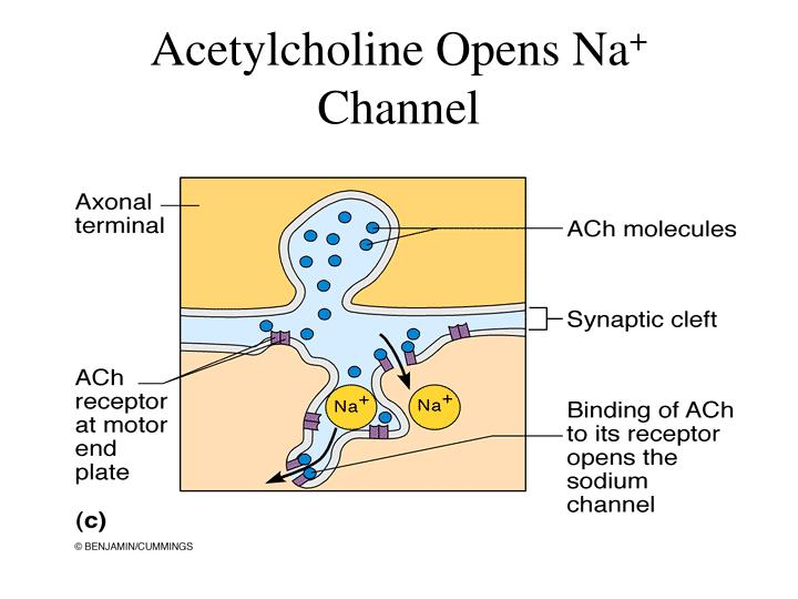 Acetylcholine Opens Na