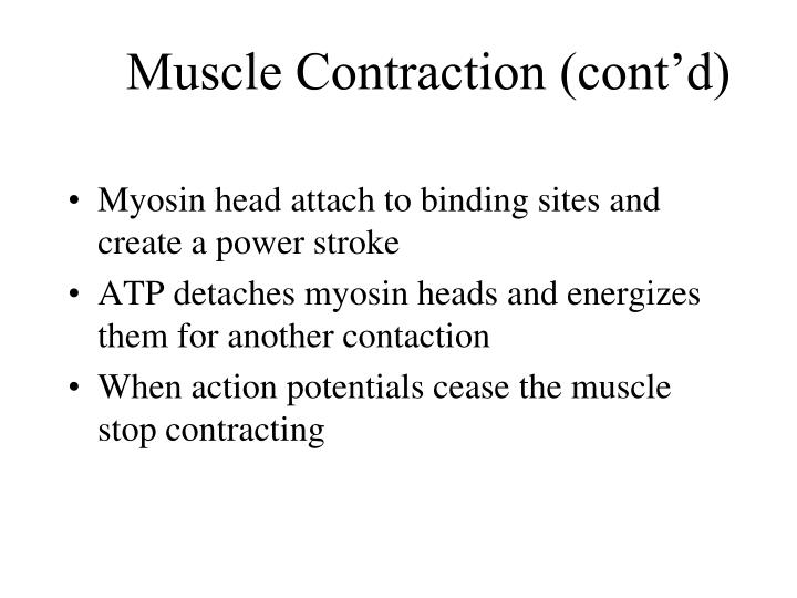 Muscle Contraction (cont'd)