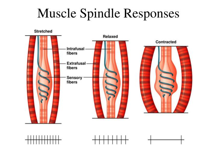 Muscle Spindle Responses