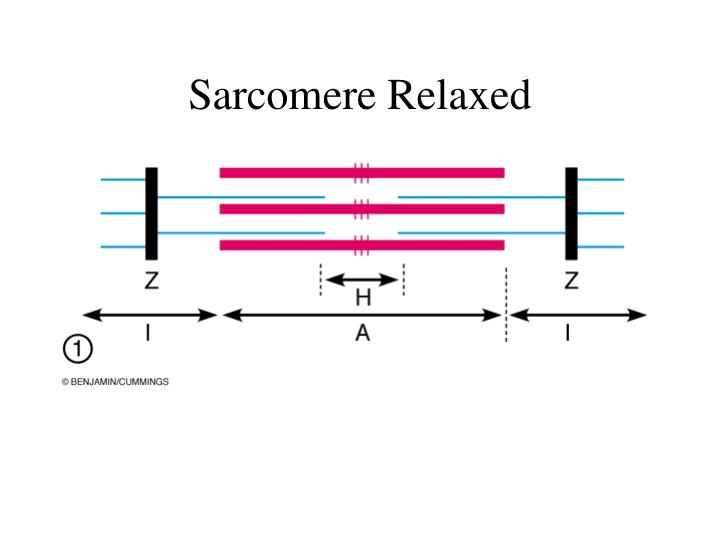 Sarcomere Relaxed