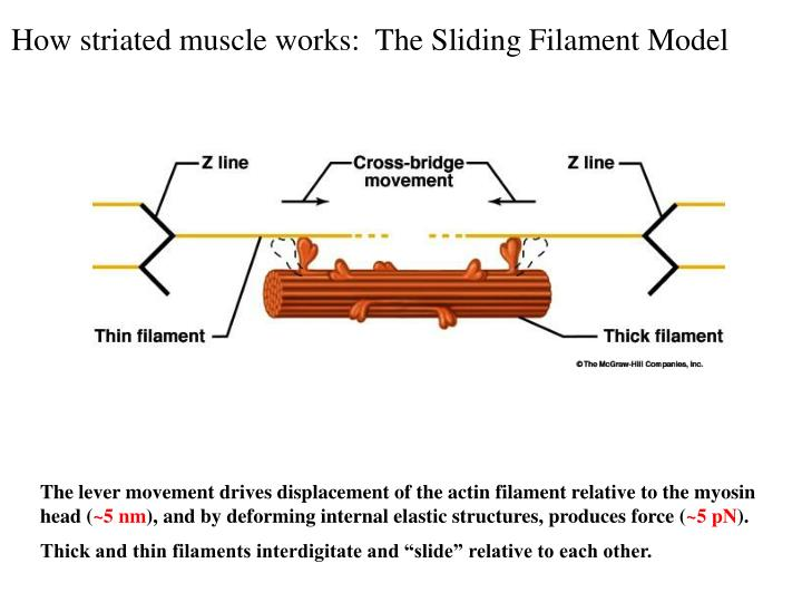 How striated muscle works:  The Sliding Filament Model